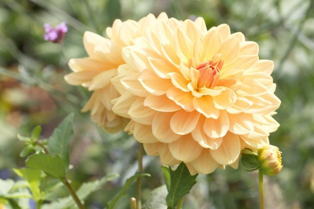 "Dahlia hortensis ""Orange Garden"""
