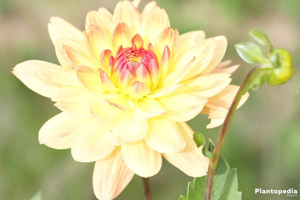Dahlia flower information how to plant grow and care for dalias dahlia hortensis paso double izmirmasajfo