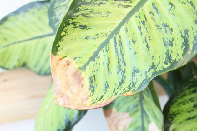 Dieffenbachia camilla with dry leaf tip