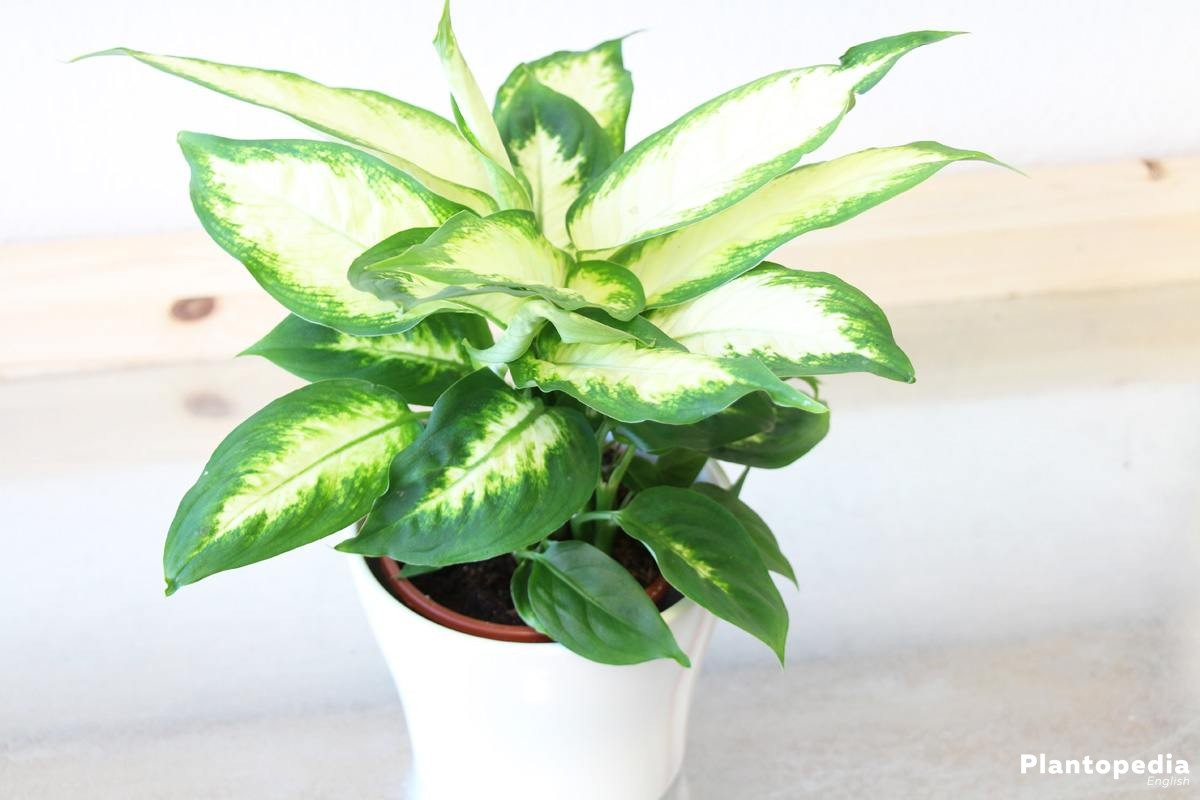 Dieffenbachia dumb cane leopard lily plant how to care and dieffenbachia dumb cane leopard lily plant how to care and propagate izmirmasajfo