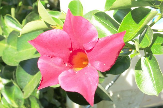 Dipladenia with red blossom