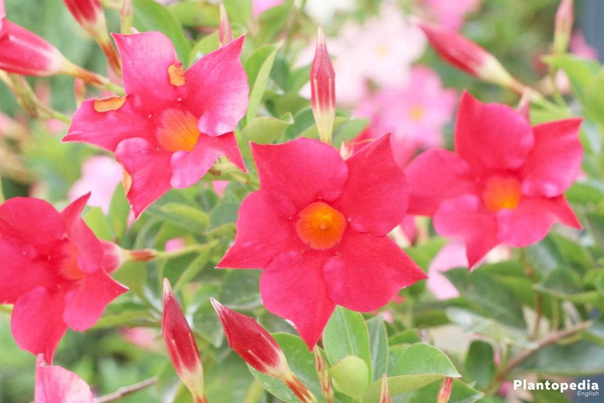 Dipladenia with funnel-shaped flowers
