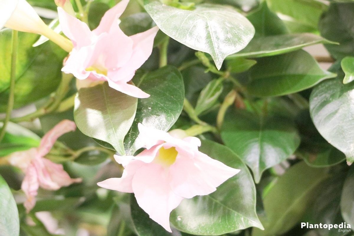 Dipladenia with pink flower