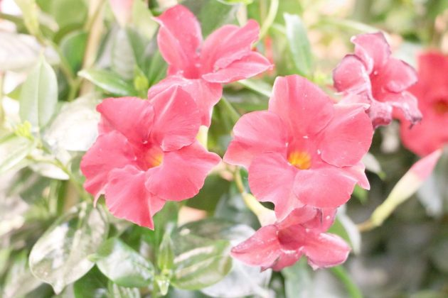 Dipladenia with red flowers