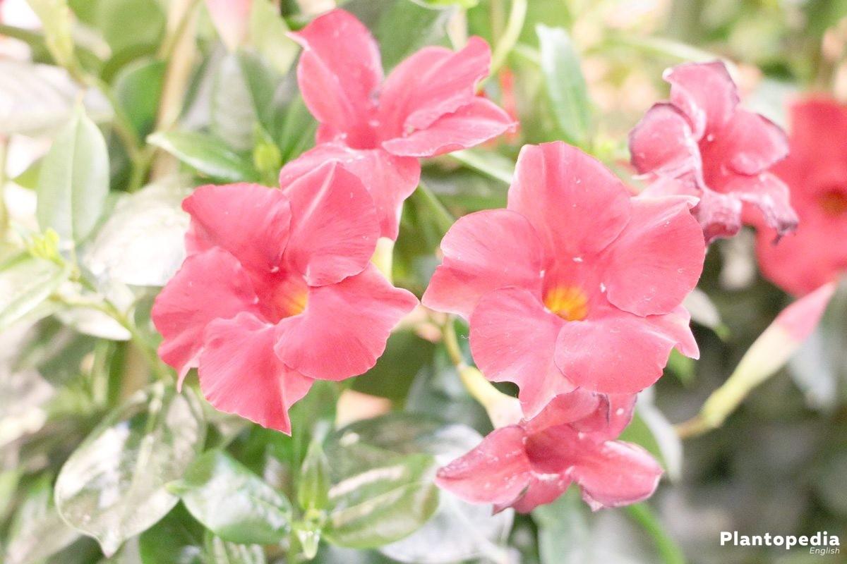 Dipladenia Bush Mandevilla Plant How To Care And Prune Plantopedia