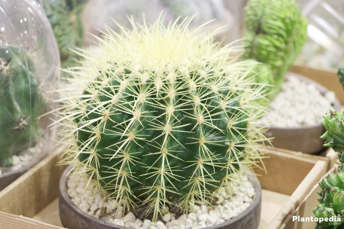 Echinocactus Grusonii Golden Barrel Cactus