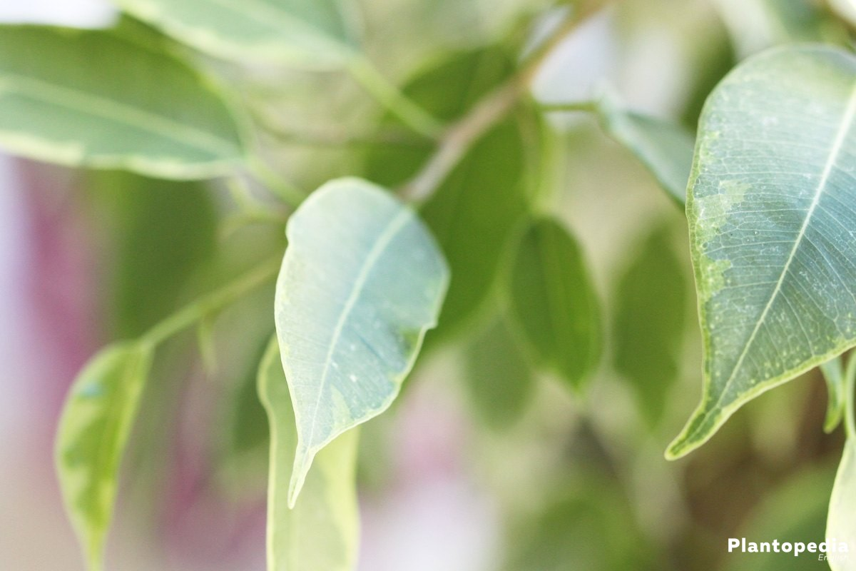 Weeping Fig Tree Plant with oval, ovate-lanceolate leaves