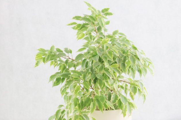 weeping fig tree plant ficus benjamina   care indoors