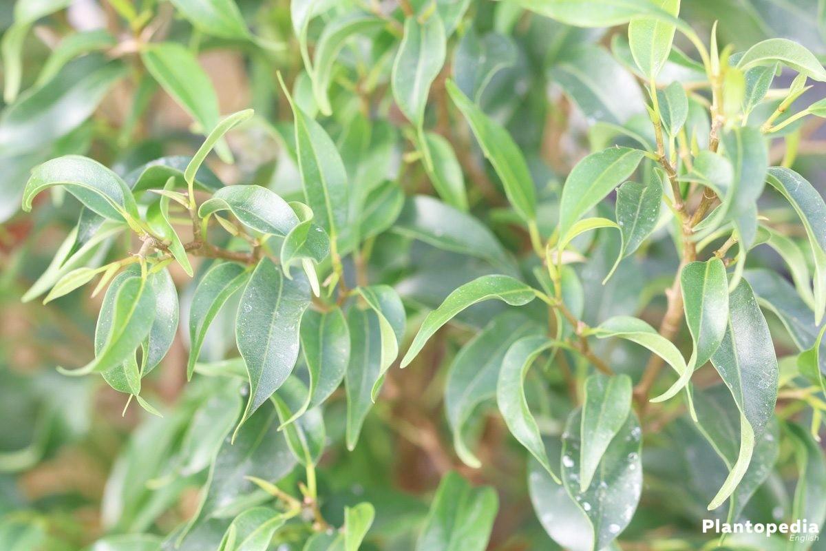 Ficus Benjamina grows in indoor cultivation up to 300 centimeters