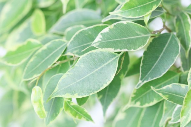 Ficus Benjamina, Weeping Fig Tree Plant
