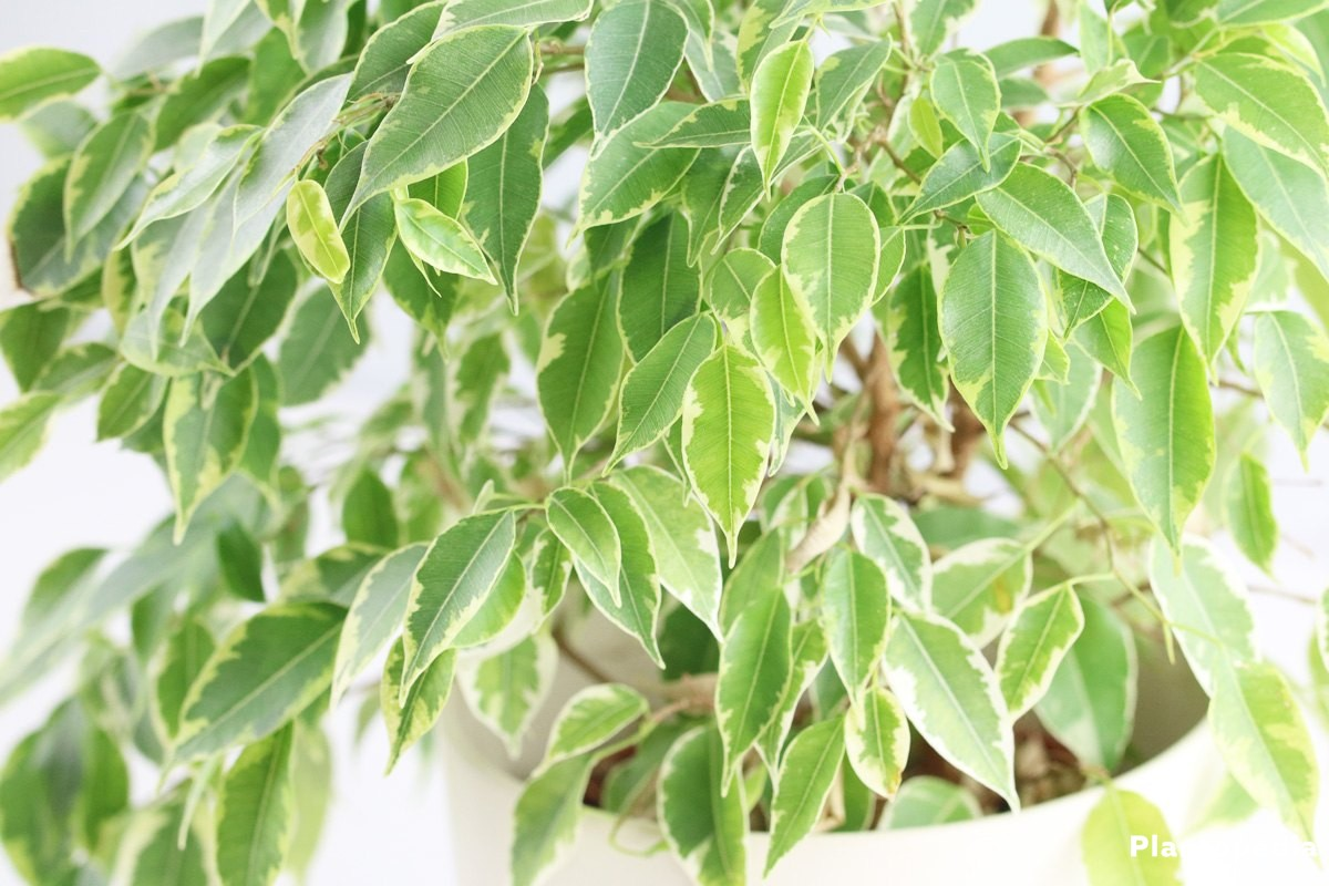Ficus Benjamina also suitable for the balcony