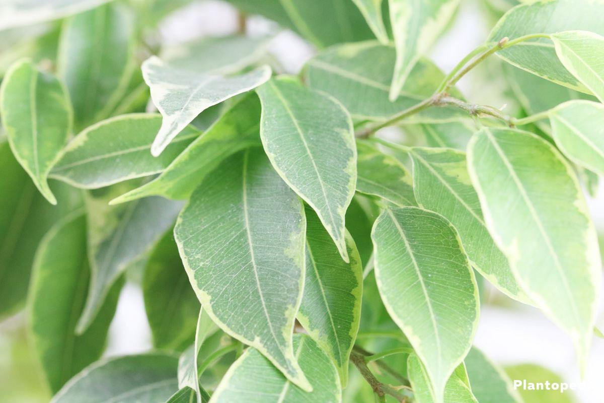 Ficus Benjamina loves gentle sunshine in the morning hours