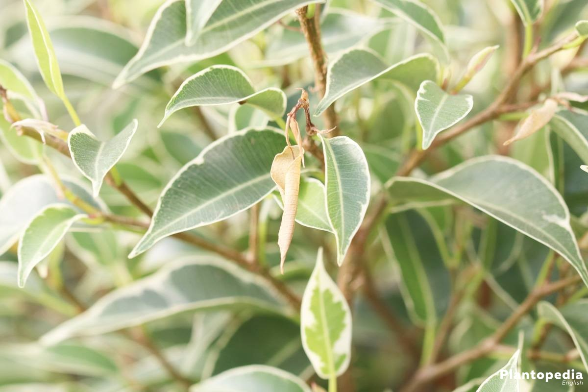 Ficus Benjamina is in all plant parts toxic