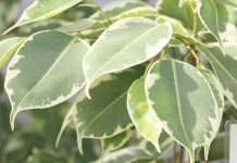 Ficus Benjamina, Weeping Fig Tree Plant