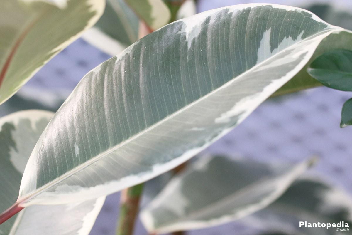 Ficus elastica with rubbery leaves