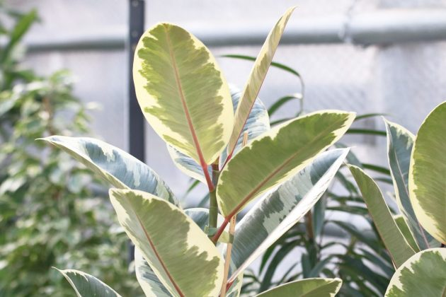 Ficus elastica, rubber bush likes warmth and sun