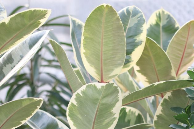 Ficus elastica, rubber bush with big and shiny leaves
