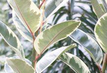 Ficus elastica, rubber bush