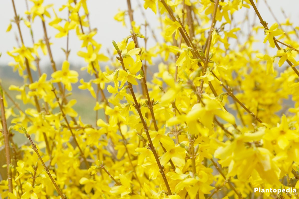 Forsythia Tree How To Plant And Care For Forsythia Bushes