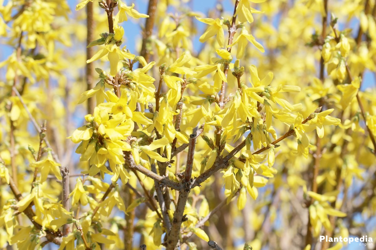 Forsythia comes from Asia and Eastern Europe