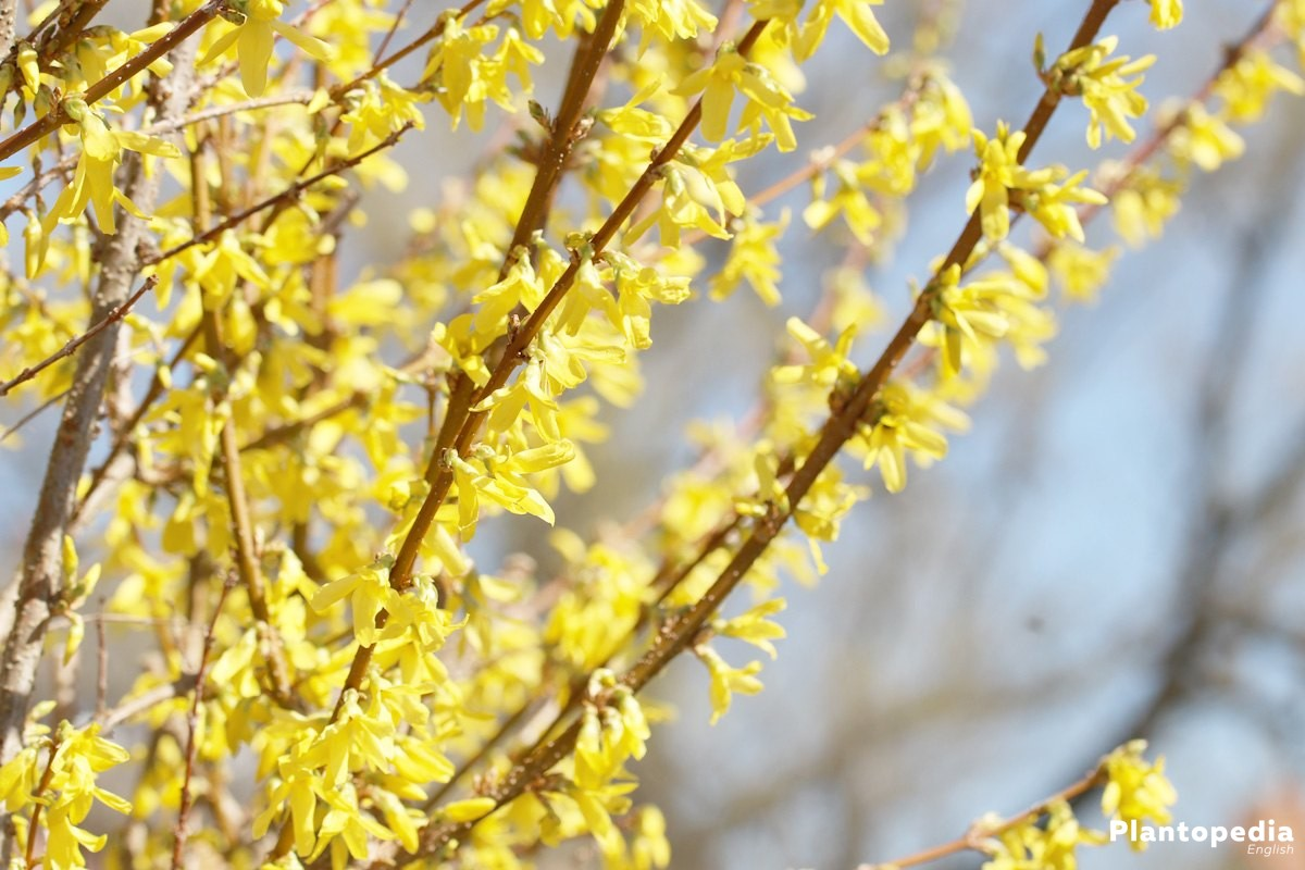 Forsythia Tree How To Plant And Care For Forsythia