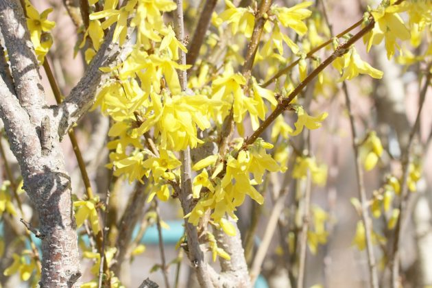 Forsythia - a beautiful flowering shrub
