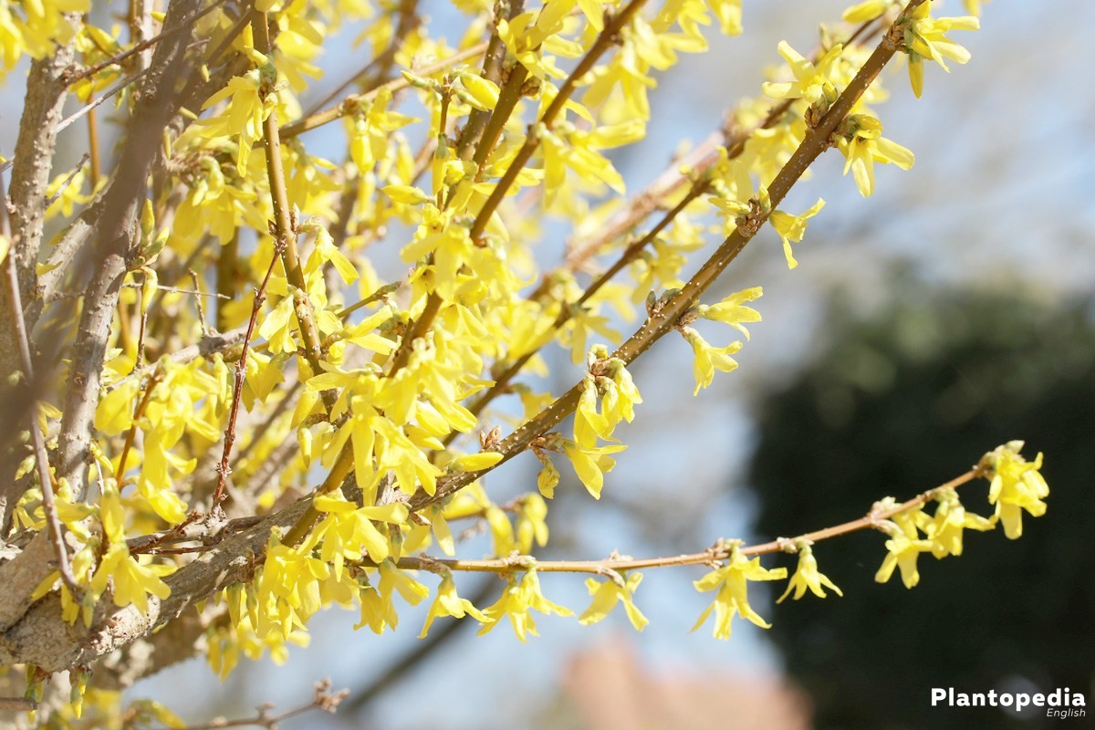 Forsythia - the ornamental shrub with yellow flowers