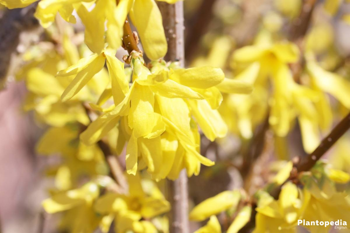 Forsythia decorates many gardens