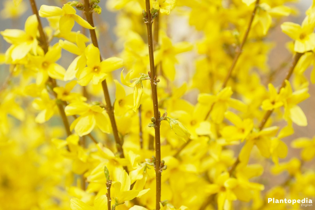 Forsythia in the garden