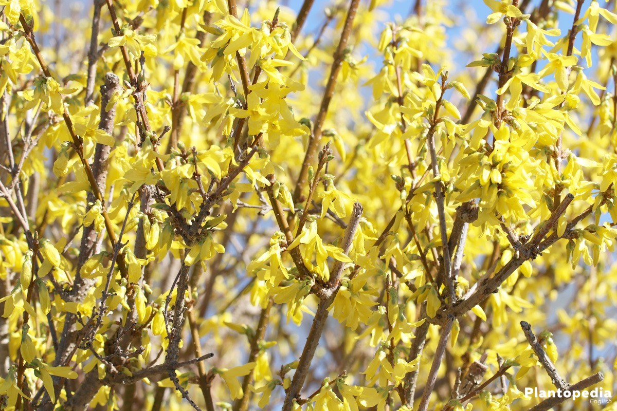 Forsythia - in many gardens, mostly as a robust hedge plant