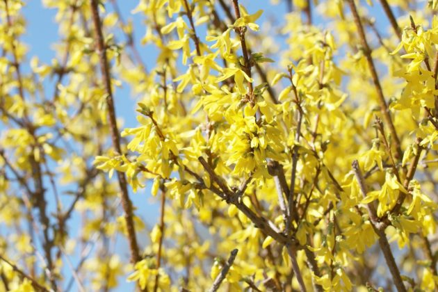 Forsythia with many yellow flowers