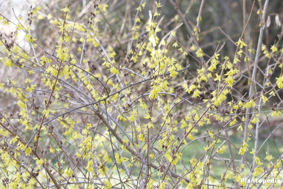 Border Forsythia blooms strong yellow in April