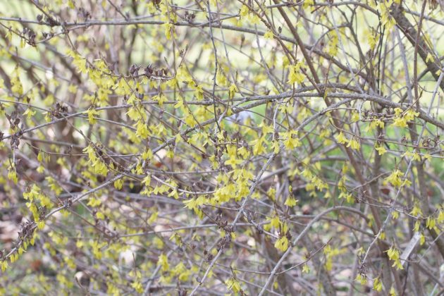 Forsythia with numerous flowers