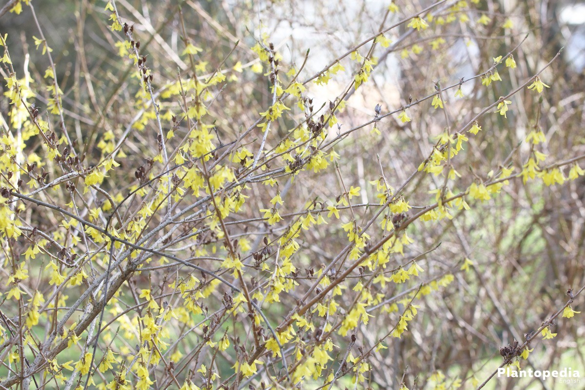 Border Forsythia grows high up to 2 meters