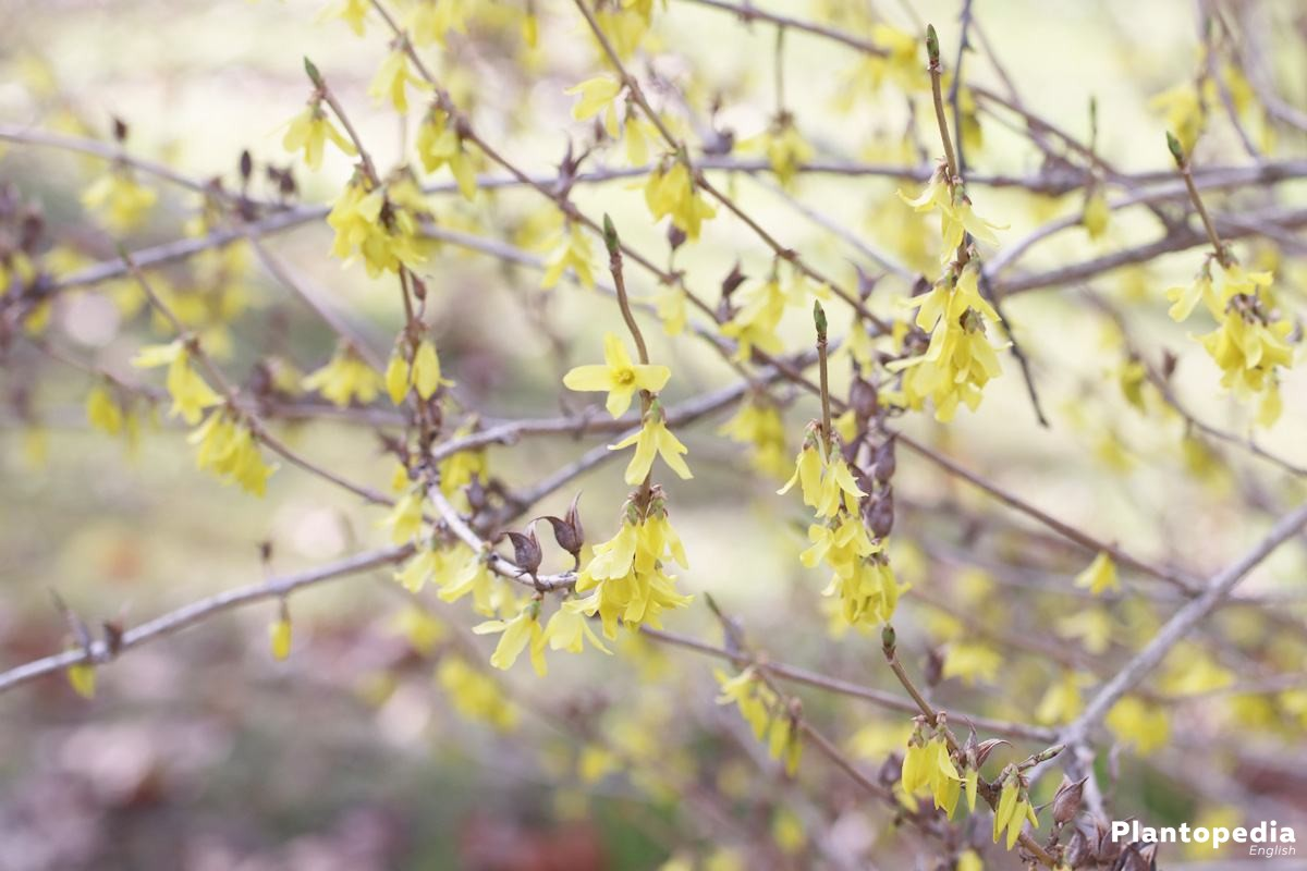 Forsythia has fresh green leaves