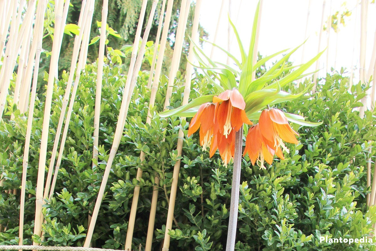 Fritillaria Imperialis with bell-shaped blossoms