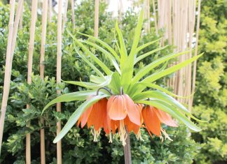 Fritillaria Imperialis, Crown Imperials