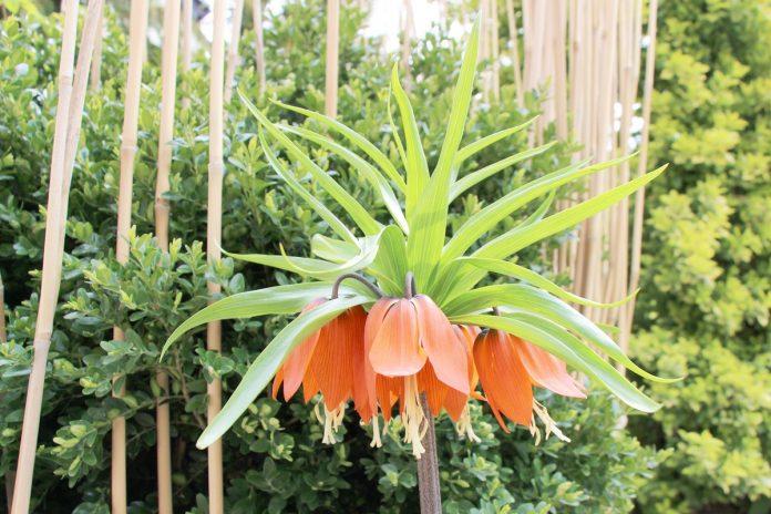 Fritillaria Imperialis, Crown Imperials