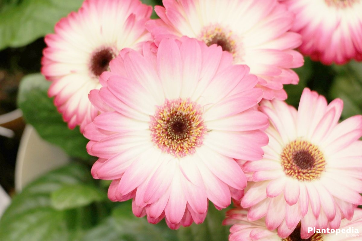 Gerbera is blooming in many different colours