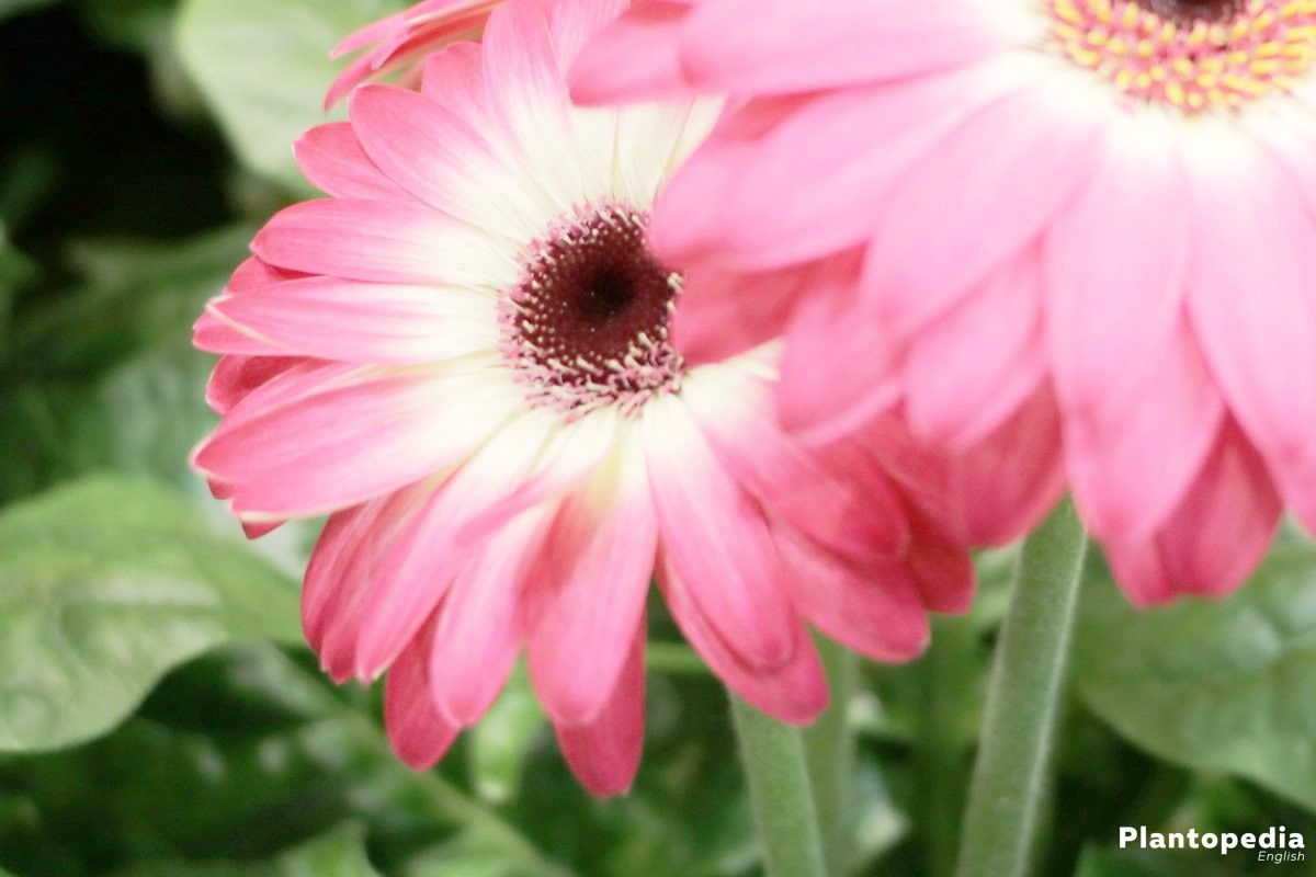 Gerbera grows compact with long pedicel