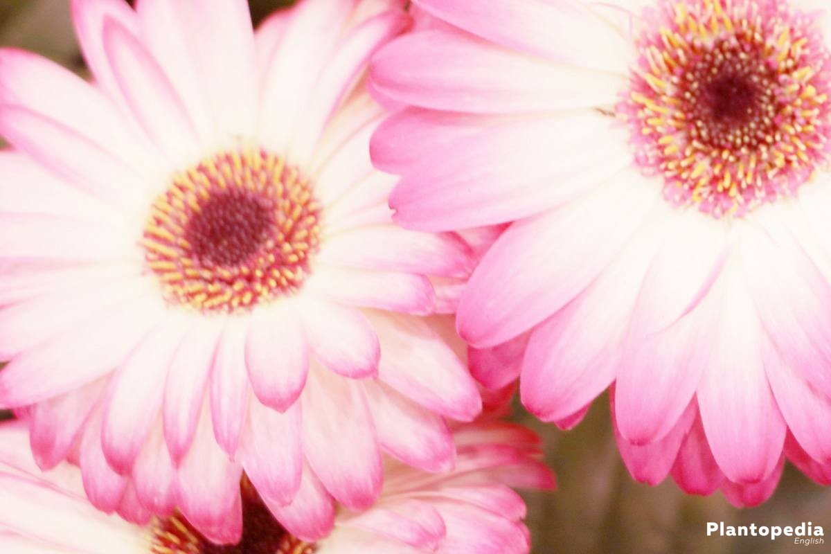 Gerbera blooms from April to September