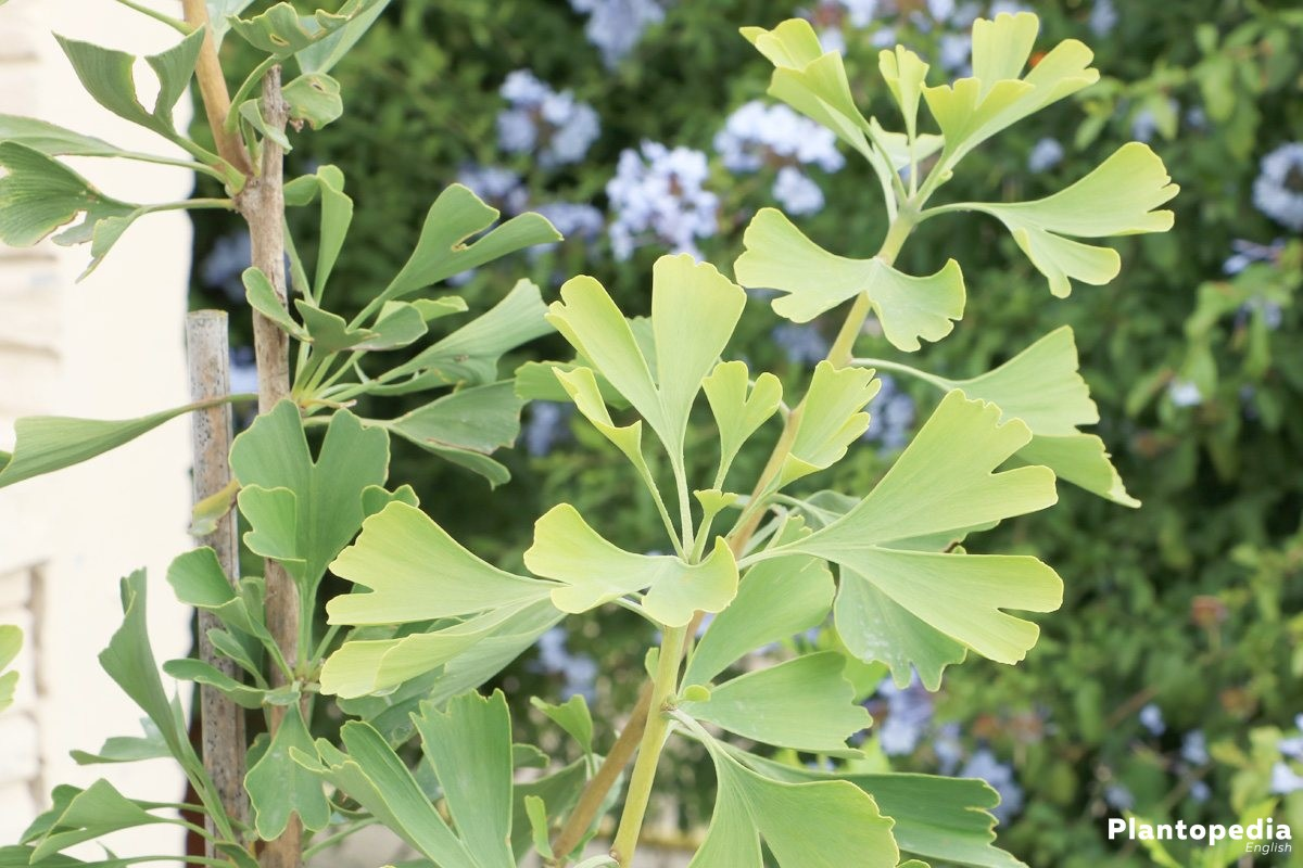 Maidenhair Tree Ginkgo Biloba Facts And How To Plant And Care