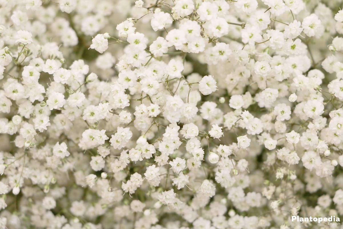 Baby S Breath Plant Gypsophila How To Grow And Care Plantopedia