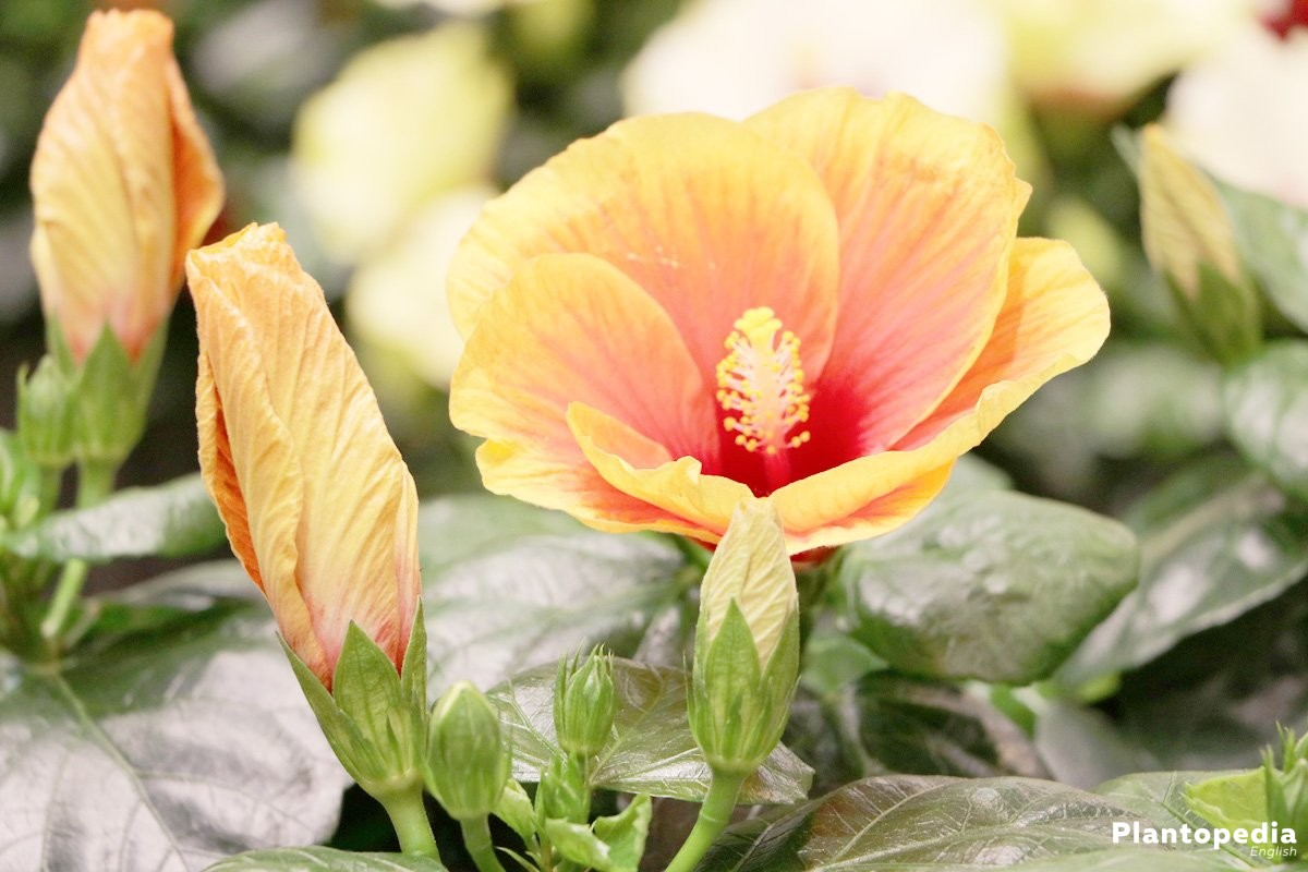 Hibiscus plant and flower how to grow and care for hibiscus tree hibiscus izmirmasajfo Image collections