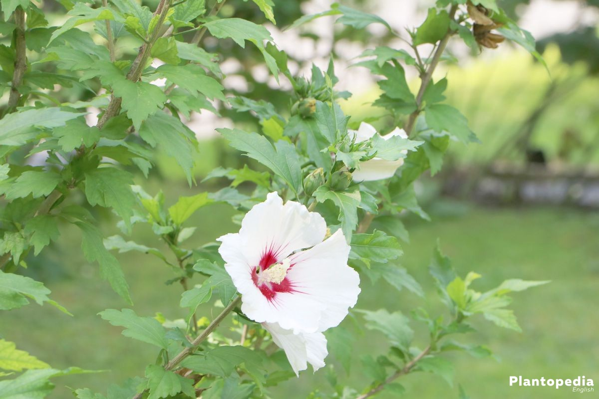 hibiscus plant and flower how to grow and care for hibiscus tree plantopedia. Black Bedroom Furniture Sets. Home Design Ideas