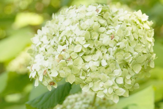 Hydrangea with white blossom