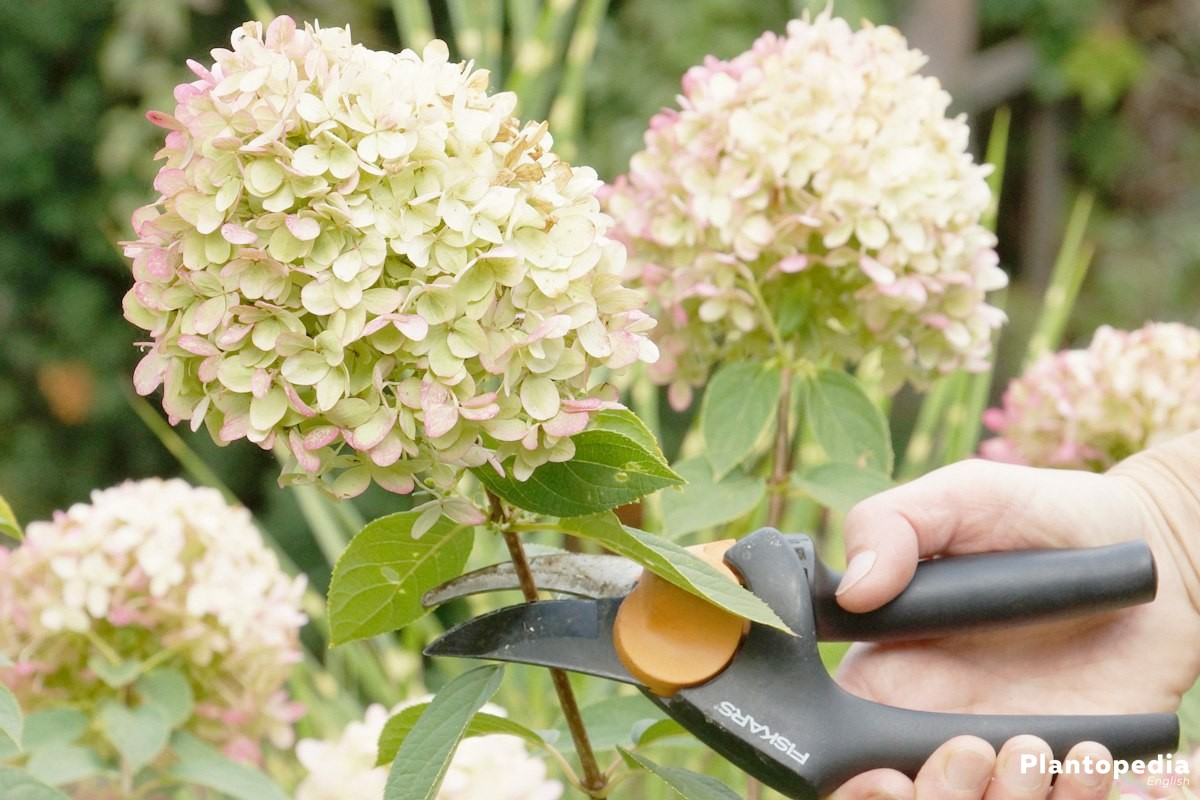 hydrangea paniculata limelight macrophylla pruning and. Black Bedroom Furniture Sets. Home Design Ideas
