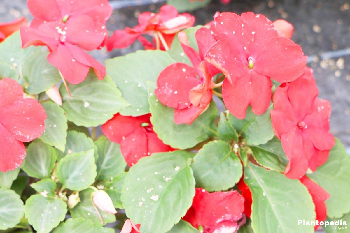 Impatiens walleriana with half-filled or fully filled blossoms