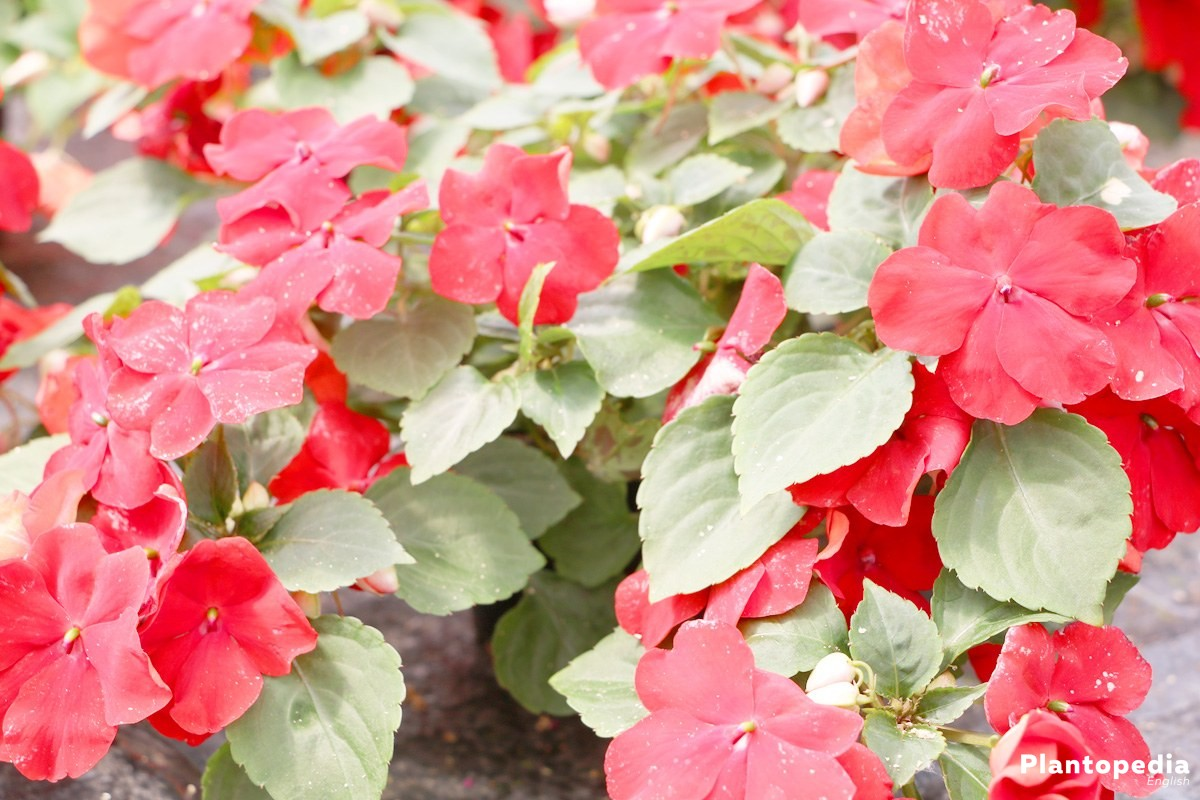 Impatiens walleriana is a very popular plant in flower beds