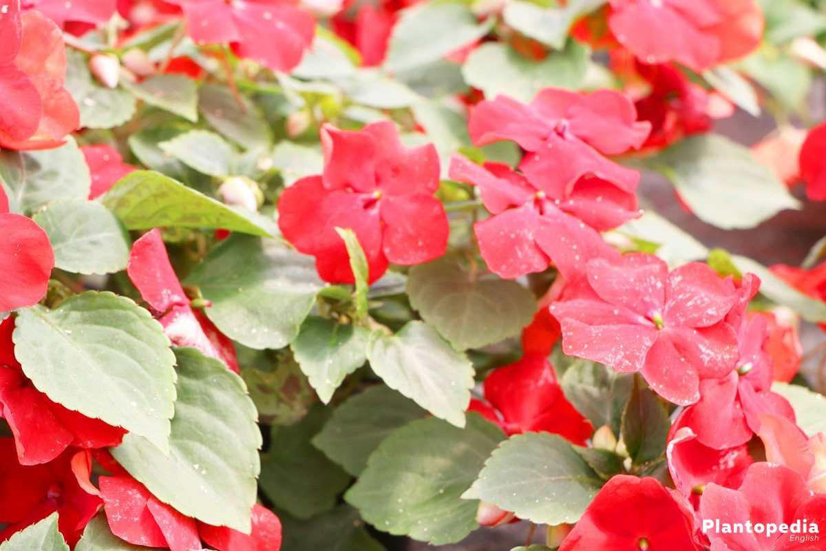 Impatiens walleriana is frost-sensitive